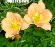 copperdawn2