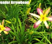 Lavender Arrowhead