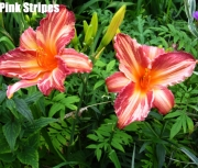 Pink Stripes .jpg
