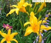 Rainbow Gold.jpg