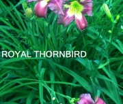 Royal Thornbird
