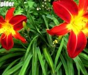 Ruby Spider.jpg