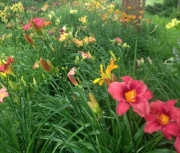 Random Daylily Garden Images