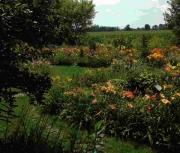 random daylily garden image 2