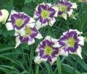 daylily seedling 050181