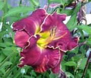 daylily seedling 1