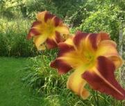 daylily seedling 14