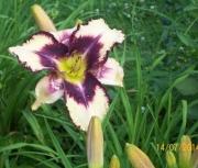 daylily seedling 2