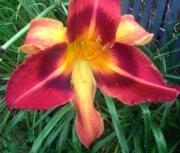 daylily seedling 3
