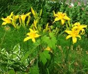 daylily seedling 4