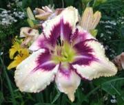 daylily seedling 6