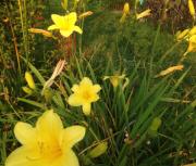 daylily seedling 68