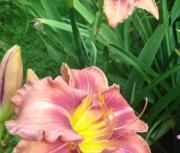 daylily seedling dd