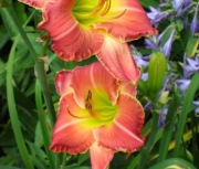 daylily seedling four
