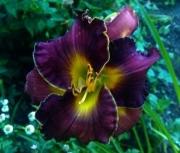 daylily  seedling one