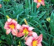 daylily seedling qq