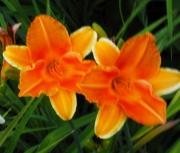daylily  seedling uv