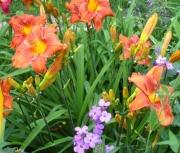 daylily  seedling vw