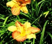 daylily  seedling xy