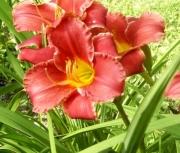 daylily seedling