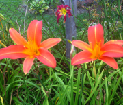 daylily seedling 75 and 74
