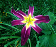 daylily seedlling 81